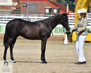 Stephanie Evans', 'Evanspark Royal Charmer' 7/10/2018 (Ilalong Talisman/Koorala Royal Rose) won the class for ASH Colt One Year and Under.
