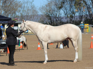 Supreme Cremello Corralyn Spinin Dust exhibited by Leanne Redman