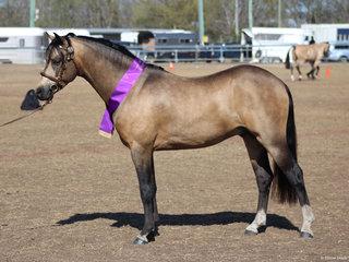 Champion Buckskin Stallion Brampton Gold Warrier