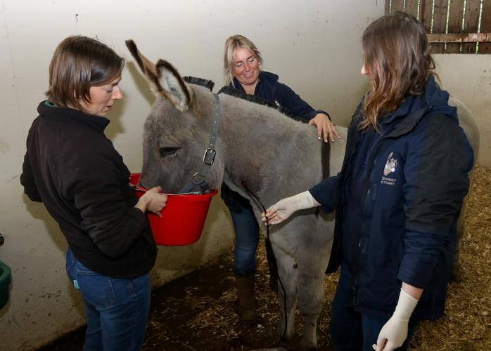 Donkey giving blood. Crdit The Donkey Sanctuary