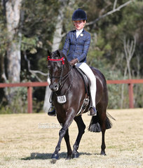 """""""Silkwood Bluebird"""" ridden by Elizabth Taylor was the Champion Open Small Galloway."""