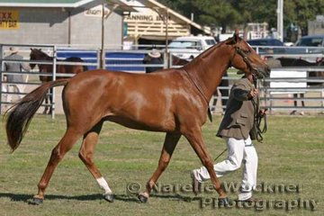 Working out to win Led Gelding 2yrs 'Yarramine Bruce' exhibited by Peter Mackay