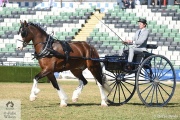 Will Pridham drove the Murroka Clydesdales' nomination, 'Crackerjack' to claim the Delivery Show Horse Reserve Championship.