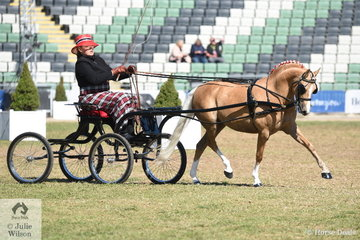 Rachel Haslau drove Diane Boardman's, 'Haddon Park Locket' to take second place in the class for Harness Pony 12-14hh and go on to claim the Harness Pony 12-14hh Reserve Championship.