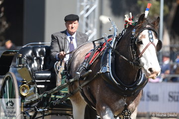 Edwin Bradley drove his, 'Yulong Maarten' to win the class for Clydesdale Mare/Gelding Driven in a Two Wheeled Vehicle.