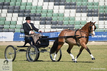 Stuart Ryan drove his delightful, 'Stillbrook Tiger Lily' to take second place in the class for Harness Pony 13-14hh.