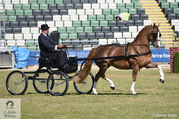 A busy Andrew James drove his own and Corinne Collins' nomination, the flash 'Clemson Billboard' to win the class for Harness Pony 13-14hh.
