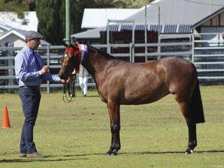 Supreme Led Mare exhibited by Granchester Stud