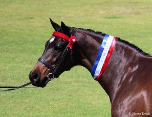 Champion led ANSA mare Tremayne True Moment exhibited by Paula Anthony