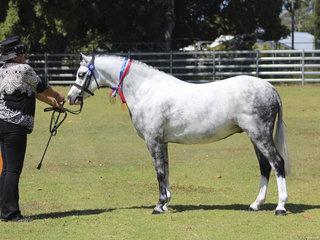 Champion Led pony exhibited by Robyn Maroney