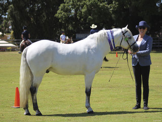 Supreme Led Stallion exhibited by Shirley Ross