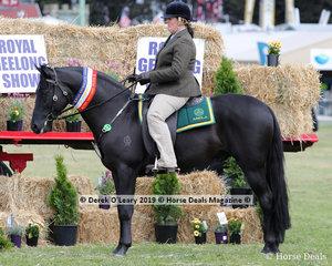 "Champion Ridden Australian Stock Horse, ""Oakton Lodge Sudden Impact"" exhibited by M Gorton"