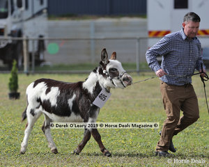"""Yep, there were miniature Donkey classes too, pictured, Shane Carey's """"LN OMD Shez All Bling"""""""