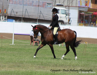 Tremayne Royal Opera exhibited by Charlee Anthony was Champion ridden Riding Pony Show Hack