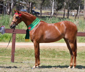 """Sarah Rieger's """"Pickwick Park Mary Poppins"""" was Reserve Champion Part Welsh Filly."""