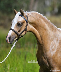 """Champion Welsh Pony Colt """"Imperial Davos"""" exhibited by Mark Bullen."""