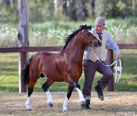 """Helen Dohan's """"Ceulan Masterclass"""" (imp UK) was Champion Welsh Mountain Pony Stallion, led by Mark Brown."""