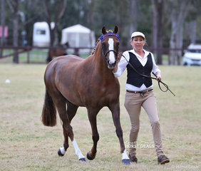 """Second placegetter in the Part Welsh Mare or Gelding 4 years and over, 13.2hh & not exceeding 14hh """"Bell's Mountain Arizona"""", exhibited by Ruth Anderson."""
