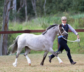 """Woranora Nara"" won the Welsh Mountain Pony Dry Mare 4 years and under 8 years class."