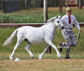 """Champion Welsh Mountain Pony Mare """"Barn Hill Party Time"""" exhibited by Susan Lyons and shown by Daniel Harvey."""