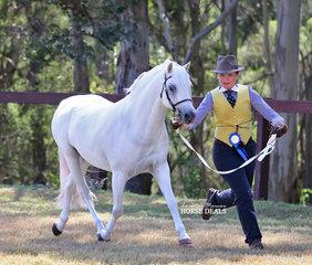 "Lexi Cesnik running out ""Kylandee Pedro"" to take Reserve Champion Welsh Pony Stallion."