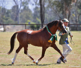 "Champion Welsh Pony Stallion ""Bamborough Just 'N' Time"" exhibited by Bamborough Stud."