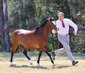 """Winner of the Welsh Pony Dry Mare 8 years and over class """"Imperial Madamoiselle"""" exhibited by Susan Lyons."""