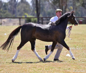 """""""Imperial Lady Arriane"""" exhibited by Mark Bullen placed second in the Welsh Pony Dry Mare 8 years & over class."""