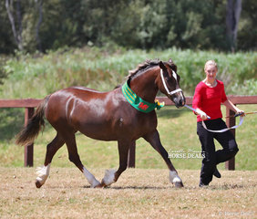 """""""Kenda Park Mimi"""" was led by Nicola Maple to win Champion Senior Led Welsh Hunter of Section D Breeding and pictured here after being sashed Reserve Champion Welsh Cob Mare."""