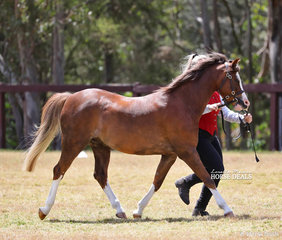 """Best Welsh Gelding of the Show """"Bamborough Ladykiller"""", exhibited by Susan Page."""