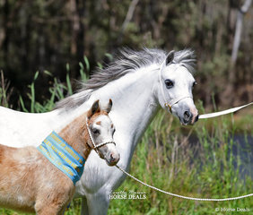 """Runner Up Best Welsh Foal went to the Welsh Mountain Pony Foal """"Cranellie 2019"""" with dam """"Bellingara Shiloh"""". Exhibited by KG & JJ Brown."""