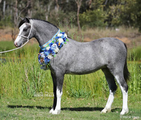 """Daniel Harvey's Welsh Mountain Pony Filly """"Eagle Park Venus"""" was declared the overall Supreme Champion  Welsh Exhibit In Hand."""