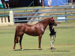 Champion Led Stud Book Pony Bamborough Chanelle exhibited by Grace Letts