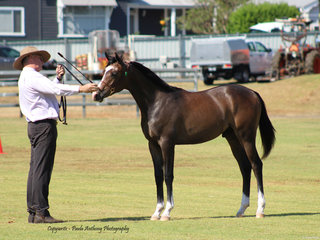 Champion Led Arabian Exhibit shown by Peter McDonald