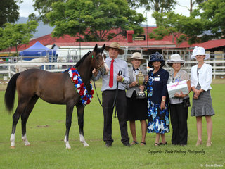 Supreme led exhibit of the Show  exhibited by Peter McDonald of Wollumbin Arabians