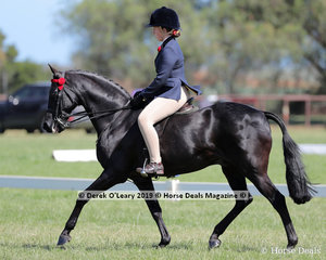 """""""Wideacre Prince George"""" ridden by Estelle Gore-Johnson and exhibited by Shelley Howard, went Top Ten in the Child's Galloway, over 14hh & n/e 15hh. Rider under 17 years"""