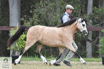 To say that Ashley and Scarlett Porter had an outstanding show is an understatement. Amongst the many awards collected, Ash is pictured on his way to victory in the class for Two Year Old WMP Filly with, 'Vanoca Park Peekaboo Book' (Dalgangle Griffin/V.P. Picture Book).