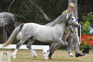 Daniel Harvey did the honours for the Howe Family with a pony he bred and took out the class for Three Year Old WMP Colt with, 'Eagle Park Vance' (Brynradyn Bonheddwr imp UK/ Imperial Veronika).