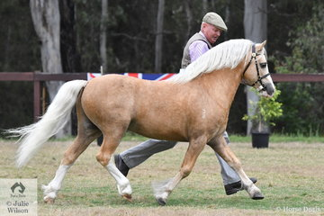 Legendary Welsh Mountain Pony man, Gary Le Brocq won the class for WMP Stallion Four and Under Eight Years with his owned and bred, 'Torlyn Sprite' by Supreme WMP, Vanoca Park Lady-Smith out of Torlyn Springtime.