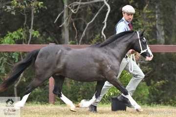 Ash Porter is pictured with his and Scarlett's hugely influential mare, 'Nattai Dark Lady' (Nattai Gwydion/Nattai Lady Moonsprite) that won the class for WMP Dry Mare Over Eight Years and went on to be declared Champion Welsh Mountain Female. She was beaten to Supreme by her son; a tad ungrateful don't you think?