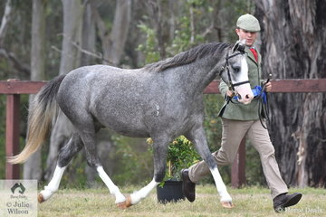 Michael Gates led Lucy Hocking's, Bamborough Archimedes' (Thistledown Wicked imp/Cottrell Arabella imp) to claim the Junior Gelding Championship and go on to be declared International Reserve Supreme Junior Gelding.