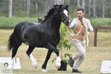 Visitor from Wales, Thomas Jones led Rebecca and Taylah Lee's, 'Cataraqui Hasufel' (Nattai Sprig/ C. Arielle) to win the class for Welsh Section C Stallion Eight Years and Over.