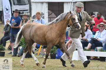 Adding a real international flavour to the International Welsh Show, Richard Miller led the Heniarth Stud UK bred and owned, 'Heniarth Va Va Voom' (Tooravale Houston ex UK/Weston Park Vanilla) to second place in the class for Section B Stallion Four and Under Eight years..