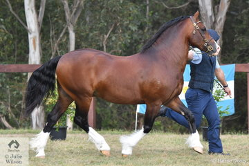 Lauren King's, 'Kings Town I'm A Prince' (Horrowclough Talisman/Kings Town Cassie) won the class for Section D Stallion Four Years and Under Eight Years.