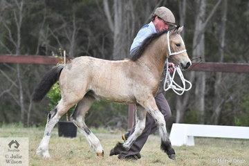 Mark Brown is pictured with his winning Section D Foal, 'Indi Bonny Jones' (Indo Brynmore Jones/I. Bridget Jones).