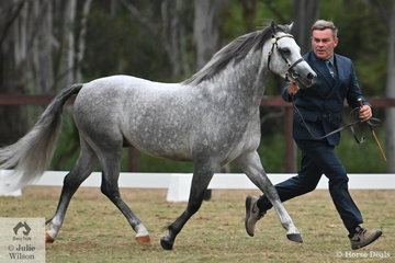Jeffrey Marks led Wendy Trimble's, 'Tooravale Pryderi' (Heniarth Woodwind (WSB)/T. Rhiannon) to win the class for Section B Stallion Four and Under Eight Years and went on to be declared Reserve Champion Section B Male.