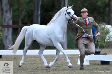 Mark Bullen's, 'Imperial Pavarotti' (Eyarth Tigra imp UK/Imperial Picture Show) may be in his early teens, but he still has what it takes to win a Championship. Shown by Daniel Harvey, Pararotti won the class for Section B Stallion Eight Years and Over and went on to be declared Champion Section B Male.