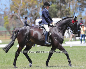 """""""Auteuil"""" ridden and exhibited by Helen Heagney in the Small Hack, over 15hh & n/e 16hh, placed Top Ten"""