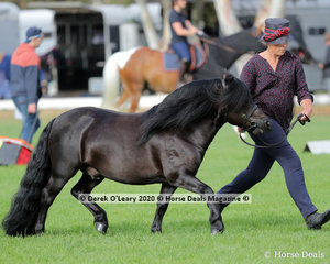 """Chris Miers exhibited """"Lentara Tremonti"""" in the Shetland Stallion over 10h & N/E 10.2hh 4 years and over"""