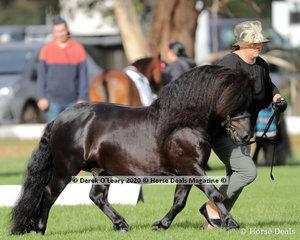 "Adele Garraway's ""Moondara Park Zorro"" won Champion Shetland Pony Colt, 3 years old"